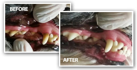BEFORE AND AFTER PICTURES OF TEETH CLEANING DOG